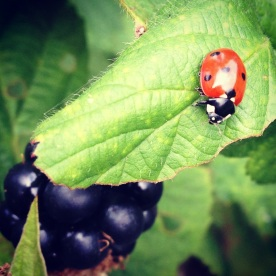 Lady bird's like brambles too