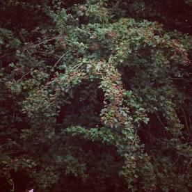 Hawthorn berries staring to turn