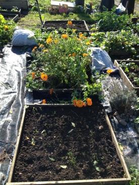 Calendula and Green manure