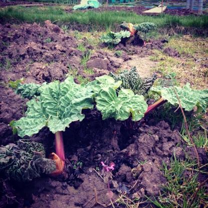 Rhubarb 30 March