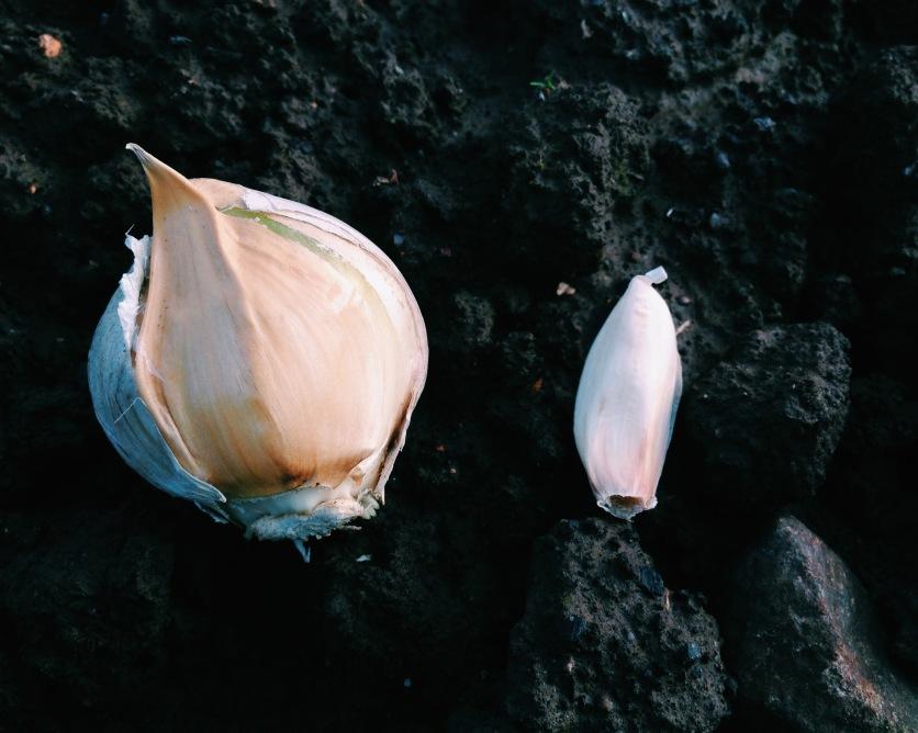 Elephant garlic and Isle of Wight garlic