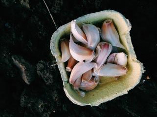 Isle of Wight garlic